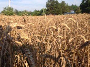 website-wheat-in-field